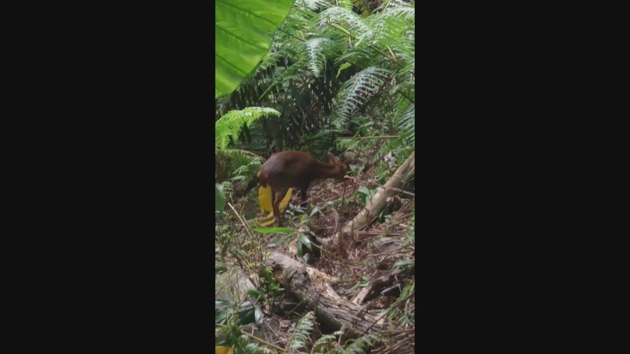 台東知本國家森林遊樂區園區,有巡山員今天早上走在步道上巧遇1隻野生山羌下山覓食。...