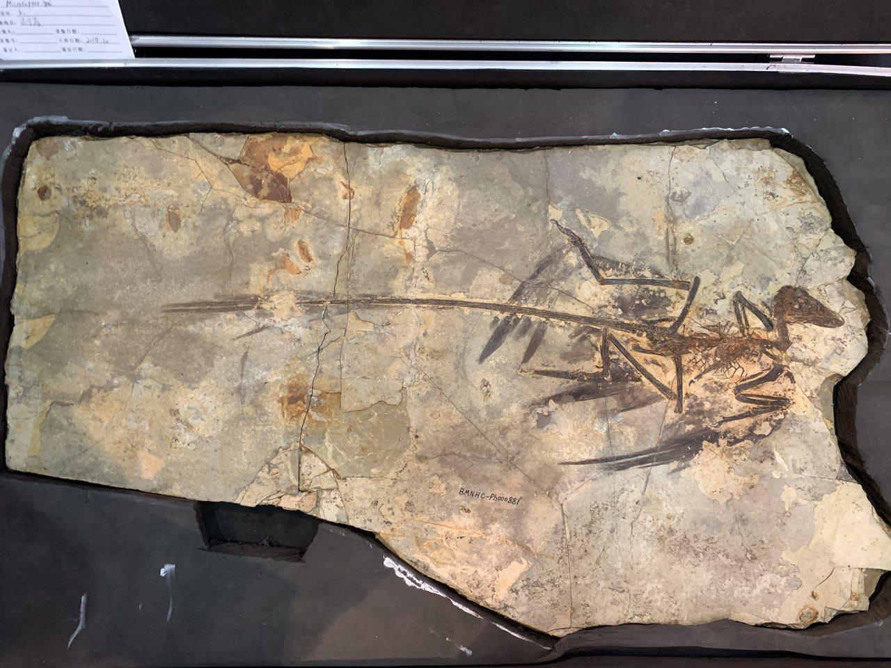白堊紀早期的「顧氏小盜龍」化石,牠體長約70-80公分,體重估計1公斤,兩翅羽毛...