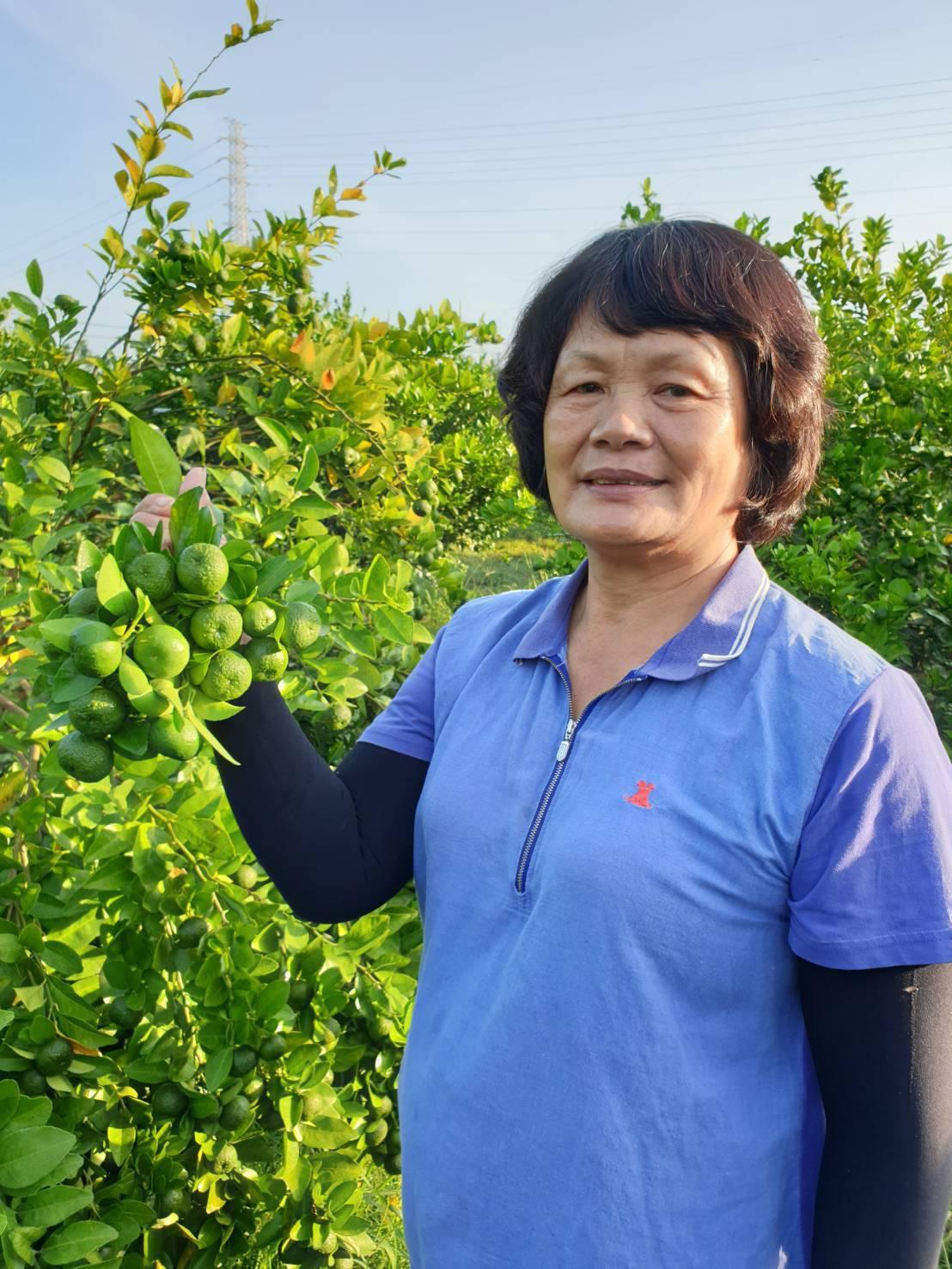 陳月娥說,台灣香檬平均一個月採收一次,每次上百斤左右,因簽訂固定價格,收入還蠻穩...