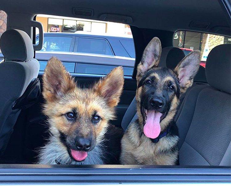德國牧羊犬「藍爵」(左)罹患罕見疾病「垂體侏儒症」,雖然2歲,卻保持幼犬的外型。...