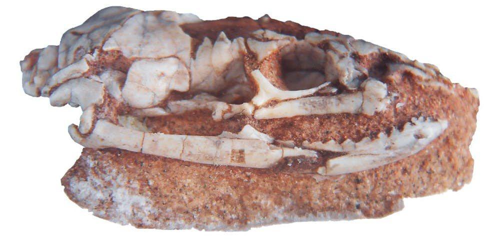 阿根廷研究團隊在境內發現了「兩腳古蛇」的完整頭骨,推翻過去許多蛇類的演化假說。圖...