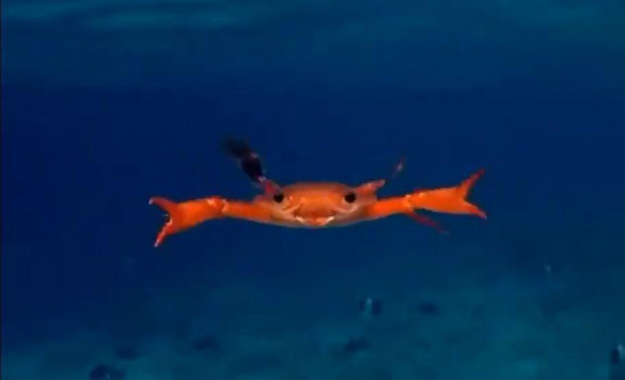 日本一名網友在推特分享了一段螃蟹游泳的影片,意外引發熱烈討論,百萬網友看完之後大...