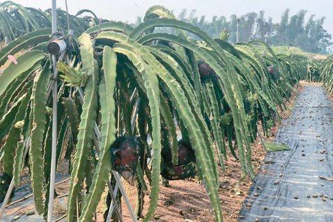 名間鄉是國內最大茶葉產區,常有鳳梨、火龍果等間作,容易出現空飄農藥問題。  圖/...
