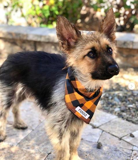 2歲德國牧羊犬「藍爵」罹患罕見疾病「垂體侏儒症」,一直保持幼犬的外型。取自Ins...