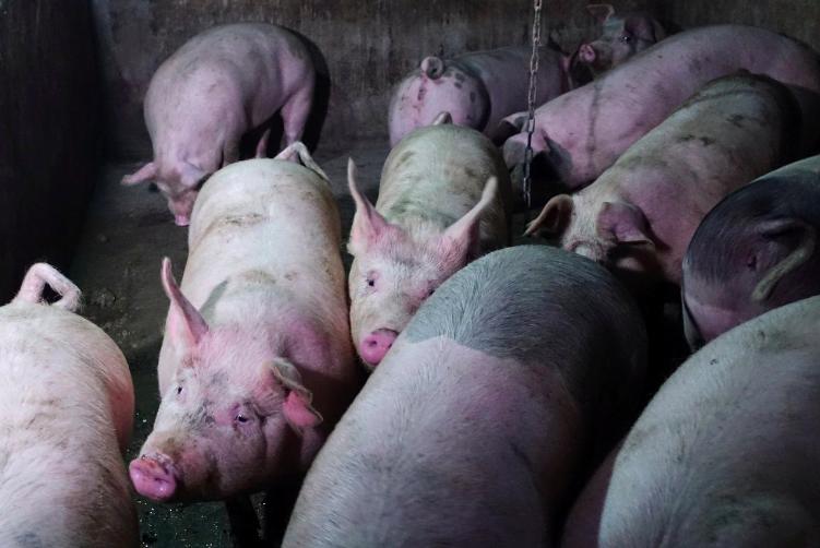 非洲豬瘟肆虐中國,中國進口豬肉增加。(路透)