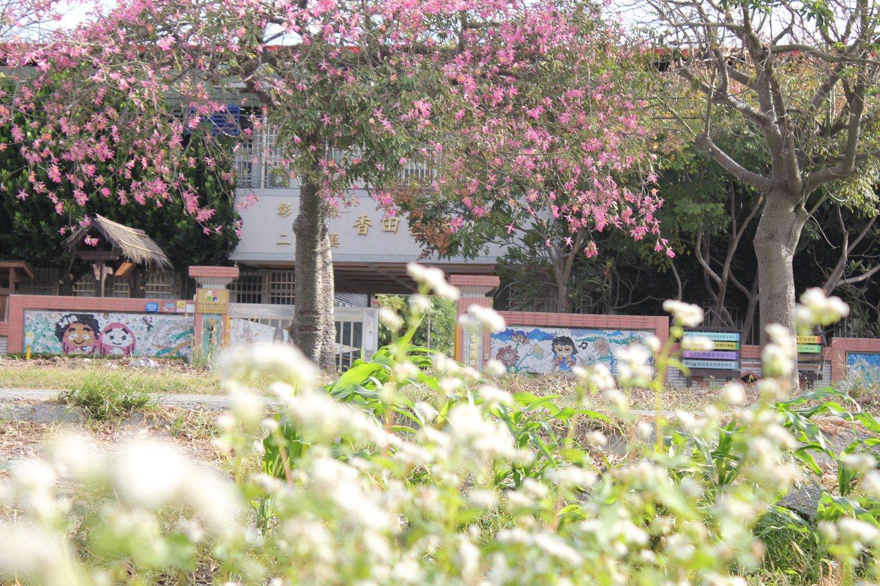 二林鎮香田國小附近美人樹與蕎麥花田相互輝映。圖/香田國小提供