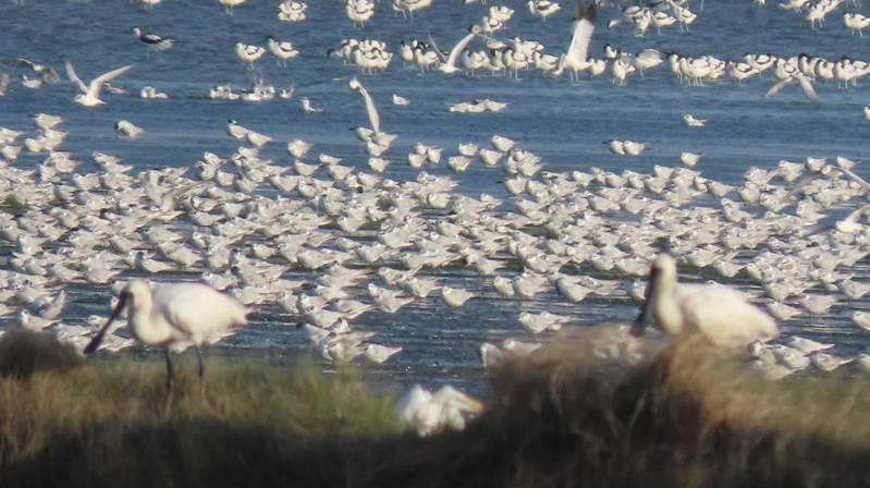 冬候鳥陸續抵達台灣度冬,嘉義縣沿海布袋鎮鹽田濕地生態園區,數萬隻黑腹燕鷗成為賞鳥亮點。圖/蘇家弘提供