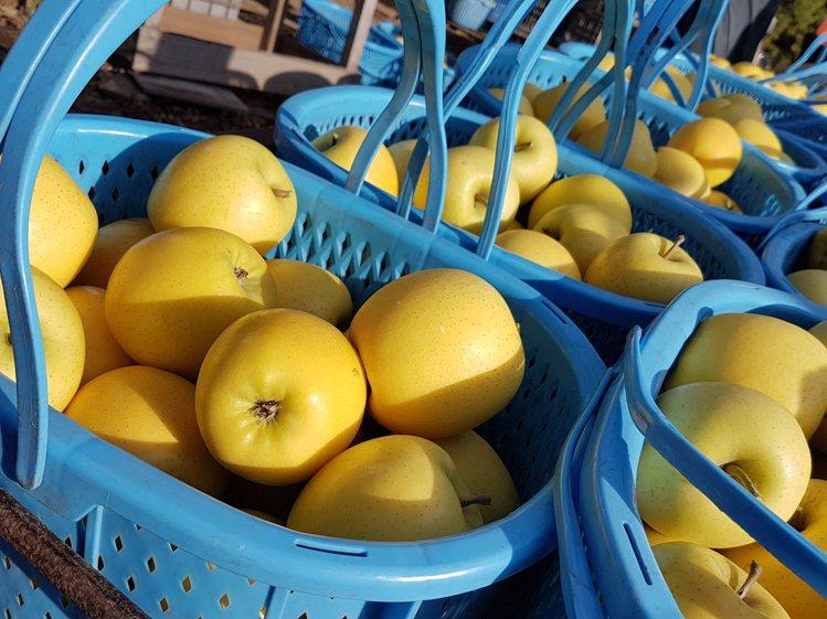 不摘葉蘋果的表皮自然油化所呈現的亮色,有如天然蠟,與摘葉蘋果的霧感果皮不同。記者...