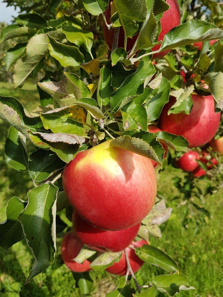 津嶋豊則花了15年的時間,才讓更多人知道,蘋果並非整顆紅透才好吃,帶著一抹陽光黃...