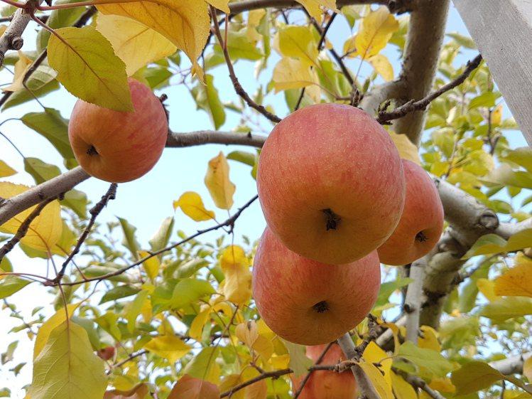 目前在日本只有5%的果農採用不摘葉種植法,讓每顆蘋果保留了50~60片葉子,讓果...