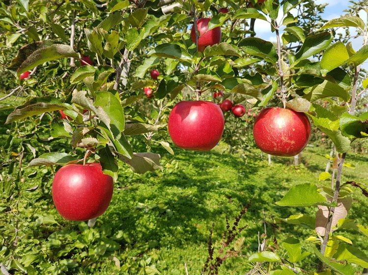 片山壽伸堅持自家果園的採收期,要比一般果園要晚一周,目的是為了讓晚生期的果實可以...