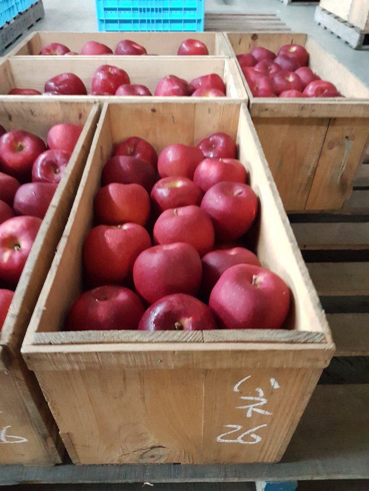 日本青森蘋果每年生產約15億顆、約45萬噸,台灣是最大的輸出地。記者何雅玲/攝