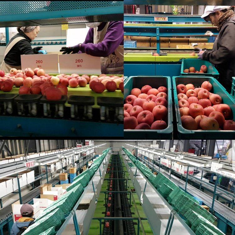 農戶在果園人工初步篩選後的蘋果在選果場會再經過兩次冰溫冷藏、兩次人工、兩次機器選...