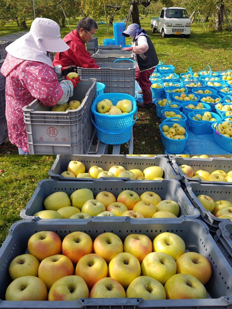 在日本青森果園採收後的蘋果會經層層把關,首關便是農戶會先以人工初步篩選,挑出賣相...