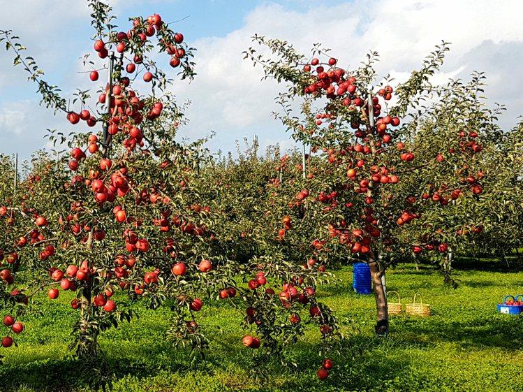 日本青森蘋果好吃的原因之一是擁有高緯度、雪量多、溫差大等適合蘋果栽培的自然氣候條...