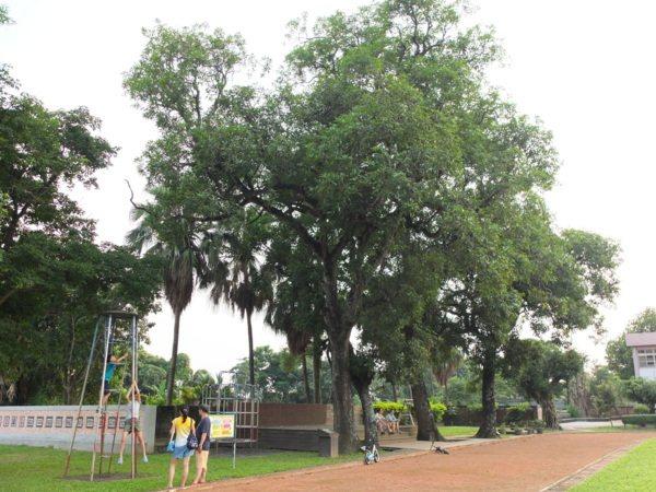 校園裡的老樹群也是賞玩焦點,真的是透過在地人介紹才知道!
