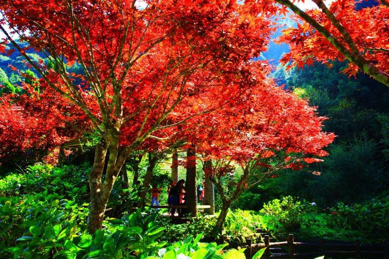 杉林溪森林遊樂區不只青楓及紫葉槭已經提早轉為艷麗的鮮紅色,更搶先成為台灣第一個賞楓風景區。圖/杉林溪提供