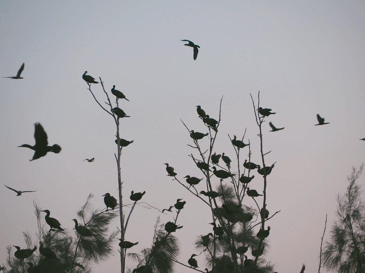 鸕鶿歸巢,秋冬是最佳賞鳥季。 記者羅建怡/攝影