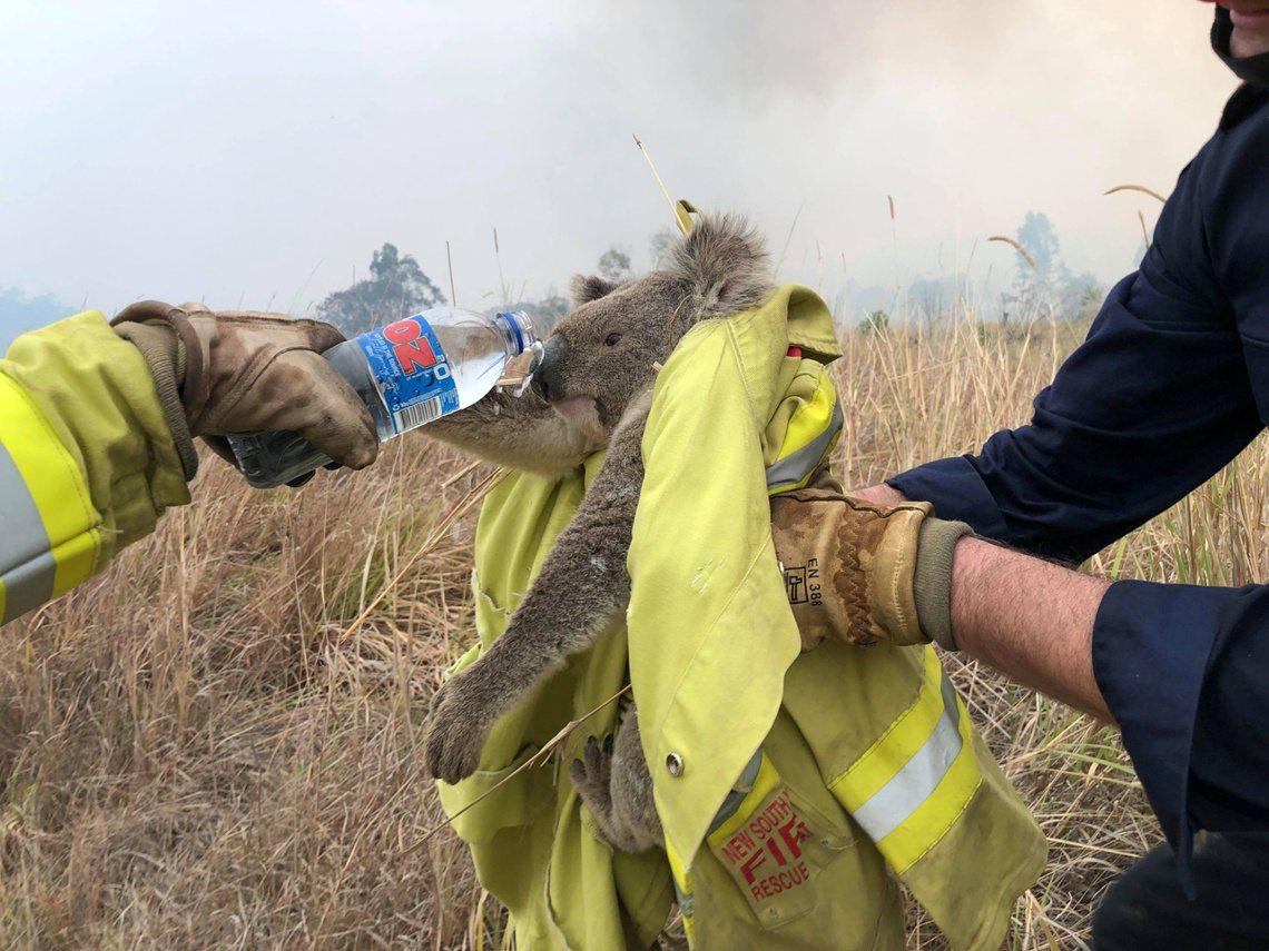 新南威爾斯州一隻被救出的無尾熊,非Lewis。 圖/路透社