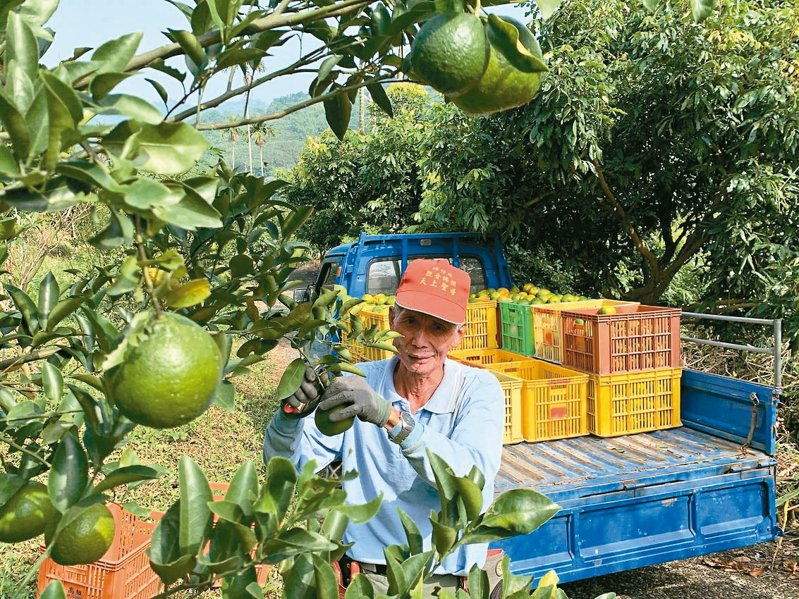 台南東山罹癌老農伍國賢行善不間斷,3年來已捐6000斤柑橘助家扶義賣。 記者謝進盛/攝影