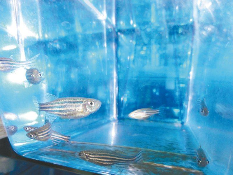 中研院細胞與個體生物學研究所助研究員陳振輝團隊實驗斑馬魚等生物發現,生物「再生記憶」可被改寫,切除斑馬魚尾鰭,不會再長出一模一樣組織。 圖/聯合報系資料照片