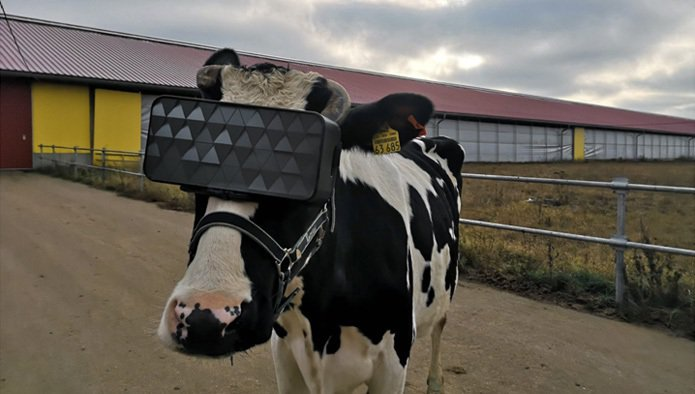 莫斯科農場測試了乳牛專用的VR眼鏡