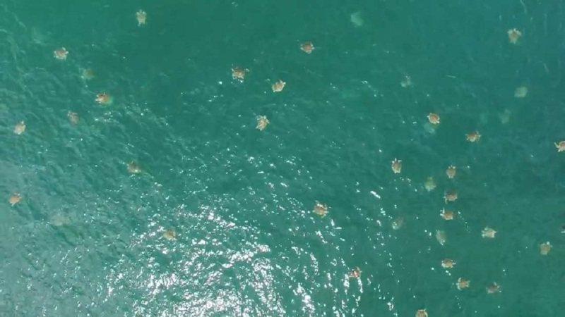 海龜專家貝齊2016年11月操作無人機,在哥斯大黎加奧斯蒂歐娜國家野生動物保護區外海拍到海龜群在海中大規模聚集,準備「大抵達」到沙灘產卵的影片。根據研判,當時約每平方公尺就有一隻海龜。畫面翻攝:YouTube/Vanessa Bezy