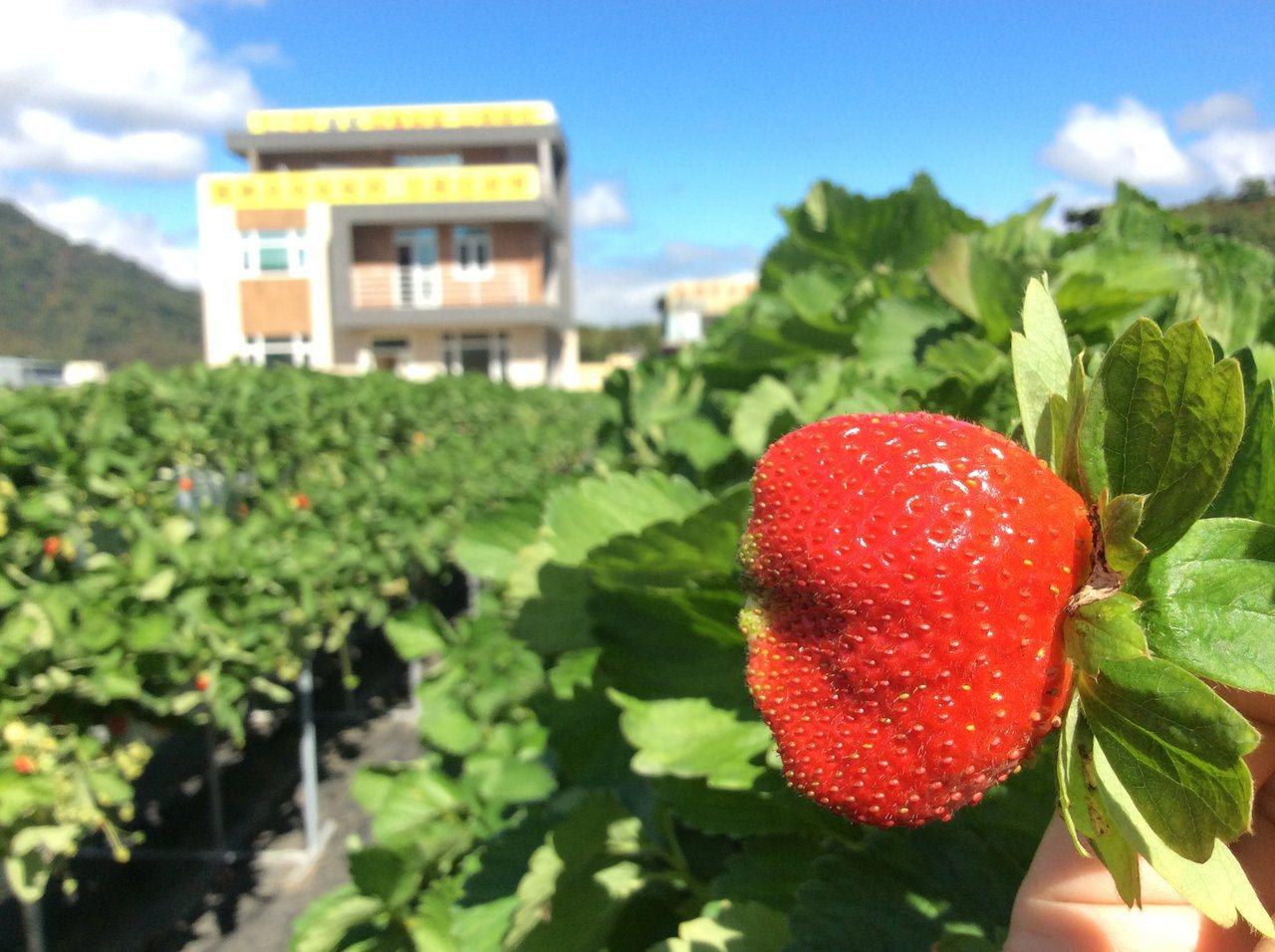 受到暖冬影響,今年草莓大小、甜度都很不錯。圖/大湖旅遊網提供