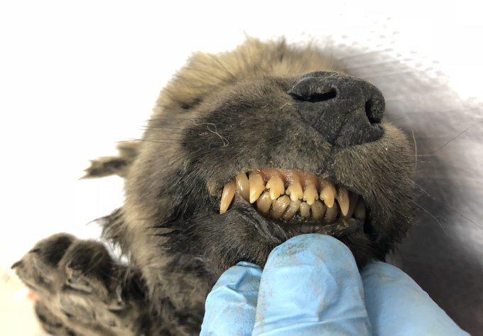 西伯利亞東部發現的幼犬屍體,推測可能是狼演化成狗的過渡品種。圖/Twitter