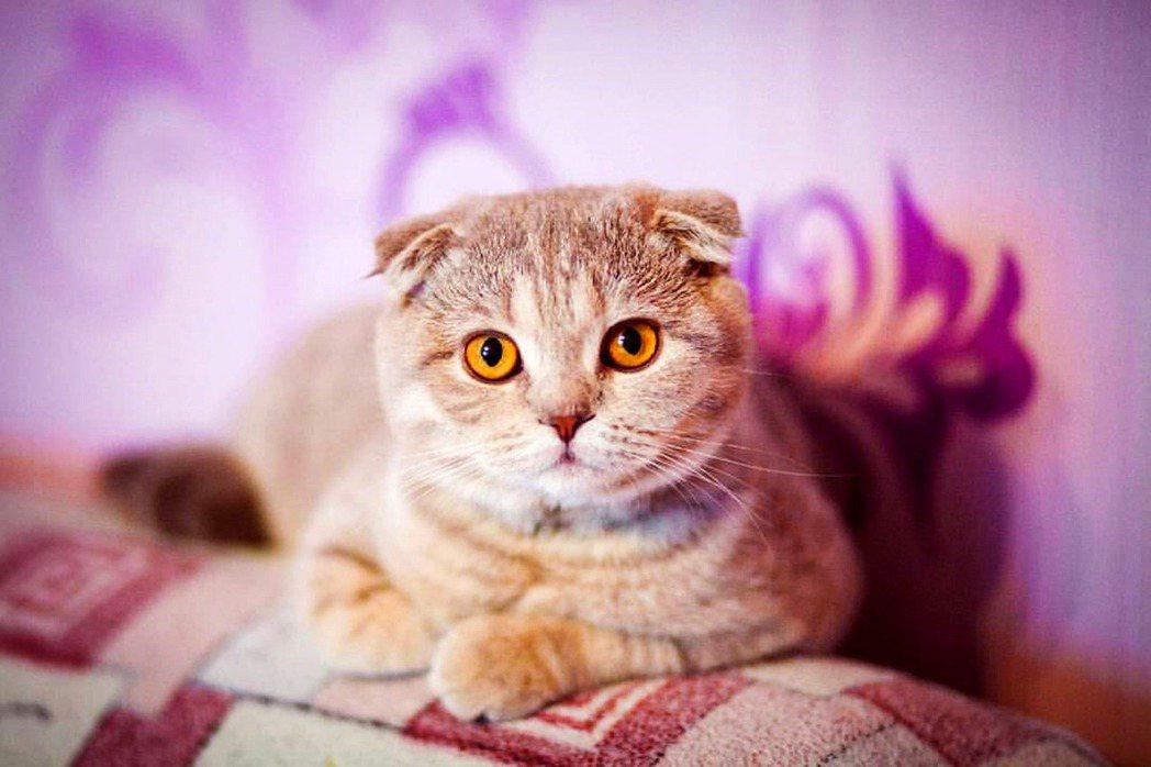 不會飛的正港折耳貓靜靜的看著你。 圖片來源/pixabay