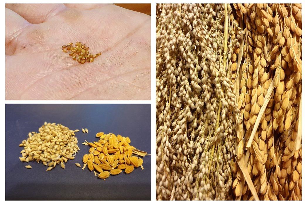油芒和稻穀的比較,油芒穀粒小,口感較米粒韌硬。