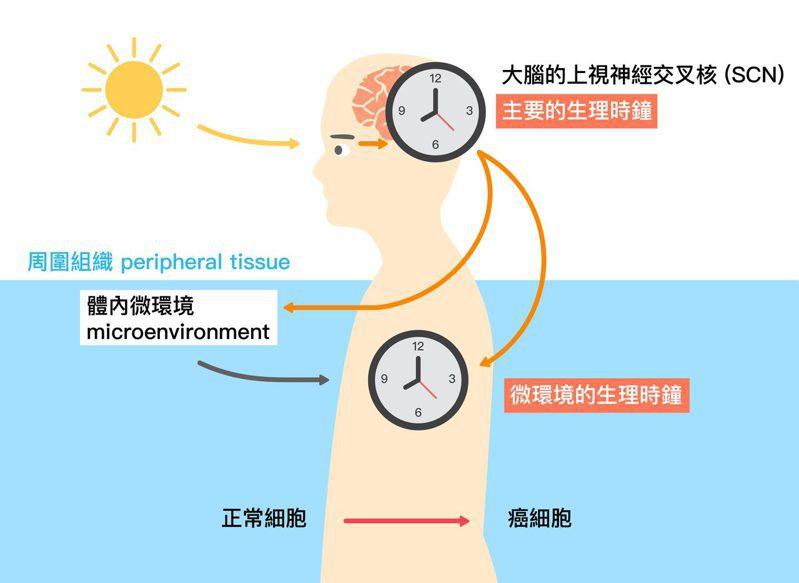光照影響大腦的主要生理時鐘,而大腦的生理時鐘又會與體內微環境的生理時鐘交互影響。</br> 圖片來源│黃雯華 圖說重製│林承勳、張語辰