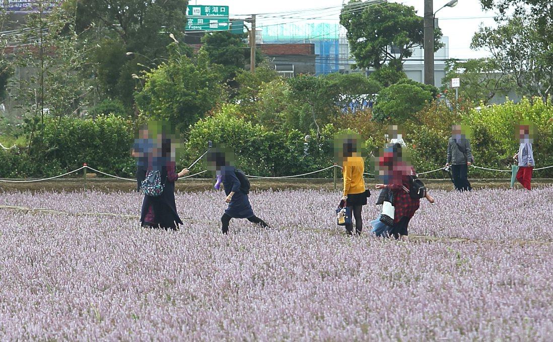 在仙草花田,的確會看見民眾有跨越仙草花的情況發生。記者陳睿中/攝影