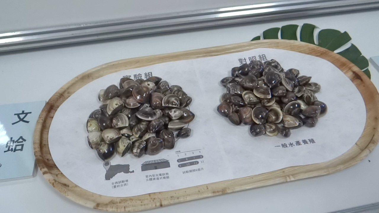漁電共生和傳統魚塭養出的文蛤對照下,光電組文蛤較大。 記者蔡維斌/攝影