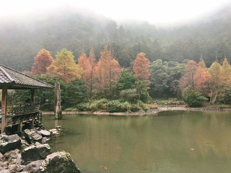 位於宜蘭大同鄉的明池落羽松已悄悄轉紅,吸引遊客上山賞景。 圖/讀者提供