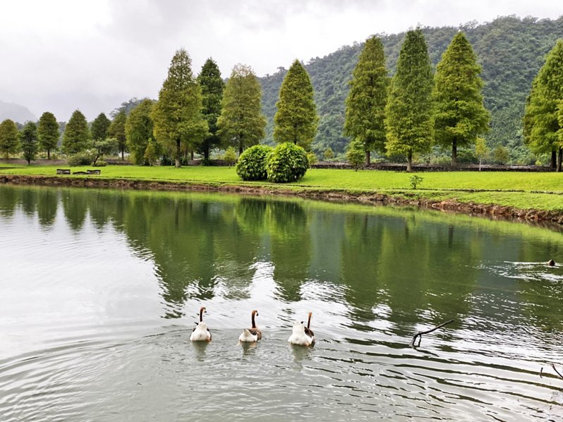宜蘭的落羽松從山下美到山上,經典祕境的福園水畔落羽松林,有鵝群相伴,等待翻紅變裝。記者羅建旺/攝影