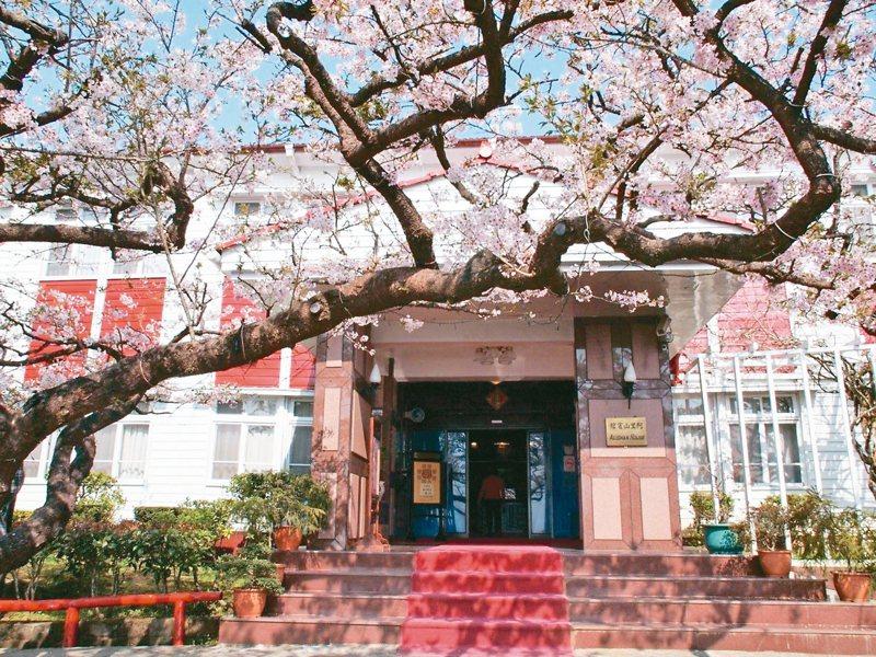 阿里山賓館舊事所前的染井吉野櫻被稱為櫻后,近幾年因為受真菌或腐菌感染,開花狀況已不如以前。 圖/嚴仁鴻提供