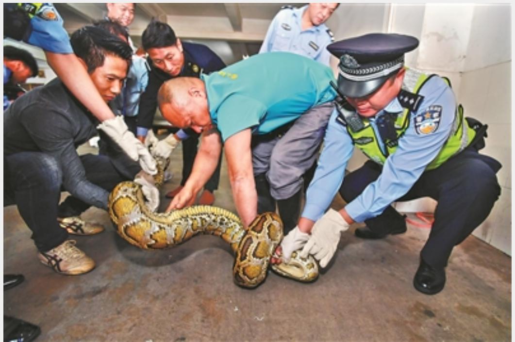 蟒蛇疑似是「過重」撐破商店天花板掉落地面才被發現。圖擷自「廣州日報」