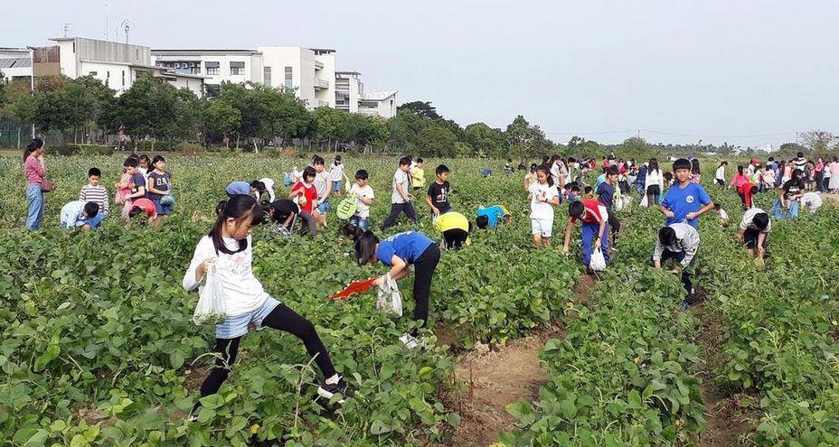 台灣毛豆一年兩收,近年農政單位開辦「毛豆文化祭」,開放民眾下田採摘,促國人更的認識毛豆的營養美味。圖/本報資料照