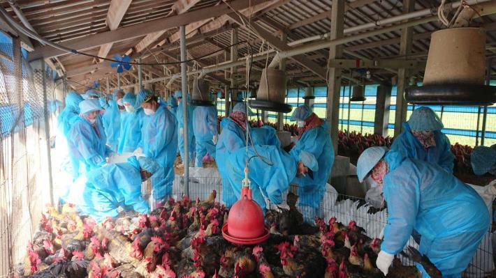 防疫人員撲殺感染雞隻示意圖。本報資料照片/記者李京昇翻攝