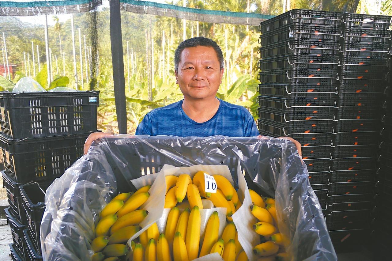 第3屆旗山馬 5千根香蕉準備好了