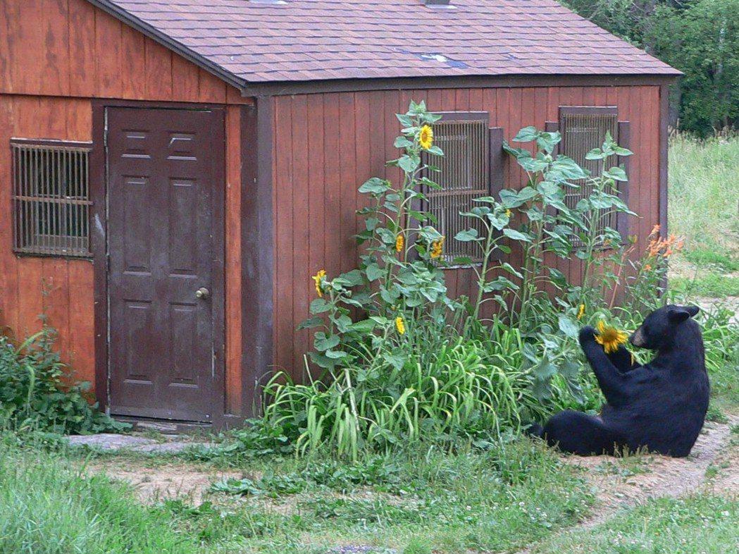 美洲黑熊在人類居所外覓食。  圖/Davis Garshelis《與熊熊大師有約》簡報