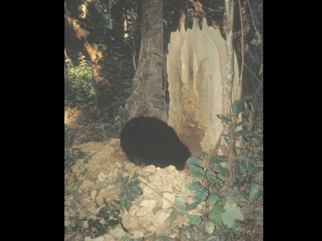懶熊在白蟻塚覓食。 圖/Davis Garshelis《與熊熊大師有約》簡報