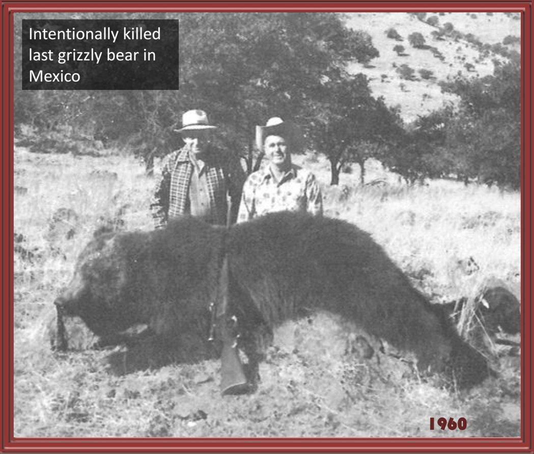 1960年,墨西哥境內最後一隻棕熊被獵殺。   圖/Davis Garshelis《與熊熊大師有約》簡報