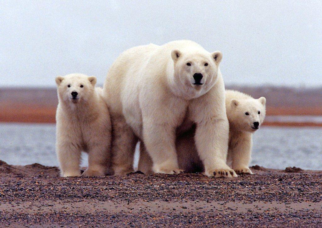 許多人都正致力於熊的保育,而唯一一種真正需要大家一起幫忙的,就是北極熊。 圖/路透社