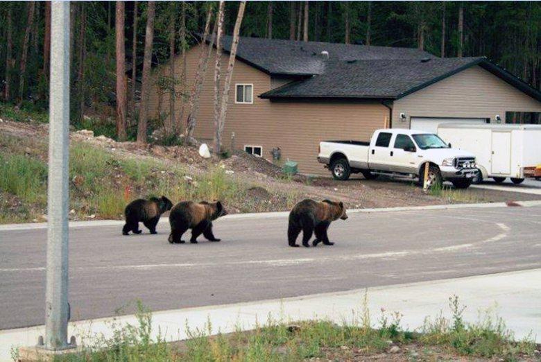 Revelstoke小鎮不時會看到棕熊。 圖/Bruce  McLellan《與熊熊大師有約》簡報