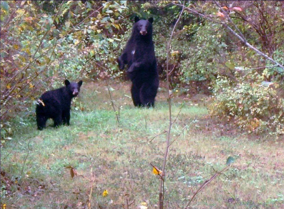 Bruce McLellan於自家後院看到的黑熊。  圖/Bruce McLellan《與熊熊大師有約》簡報