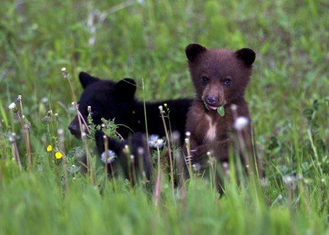 【與熊熊大師有約】從獵捕到與共存:加拿大卑詩省人熊關係演進史