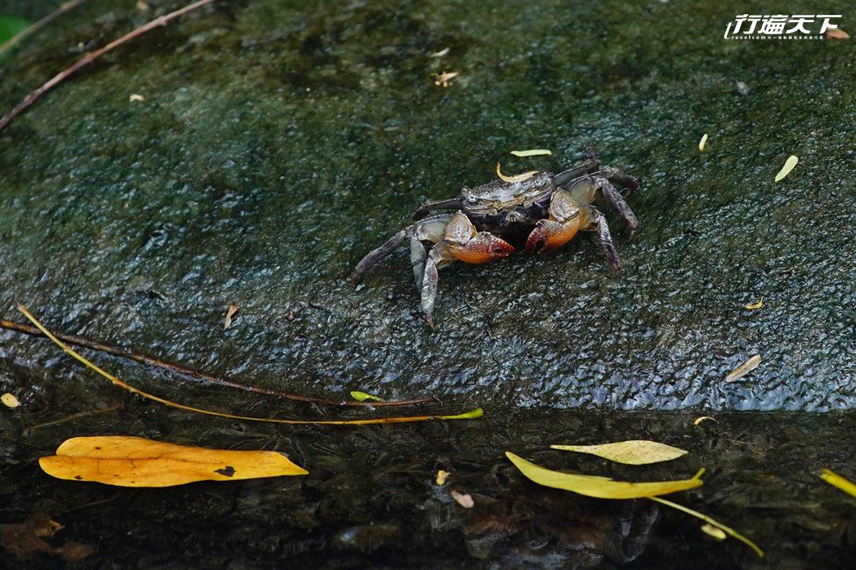 遊覽四草紅樹林間,有機會看到招潮蟹。