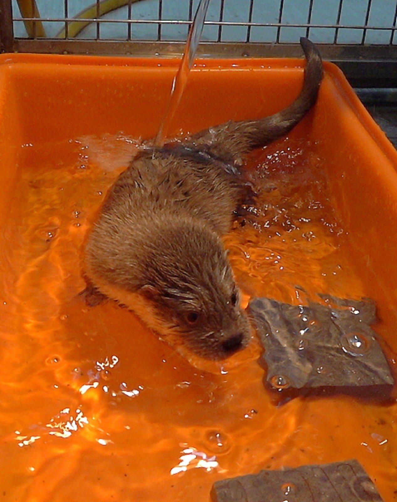 今年11月金門縣文化園區管理所停車場出現一隻歐亞小水獺,透過野生動物收容救傷計畫...